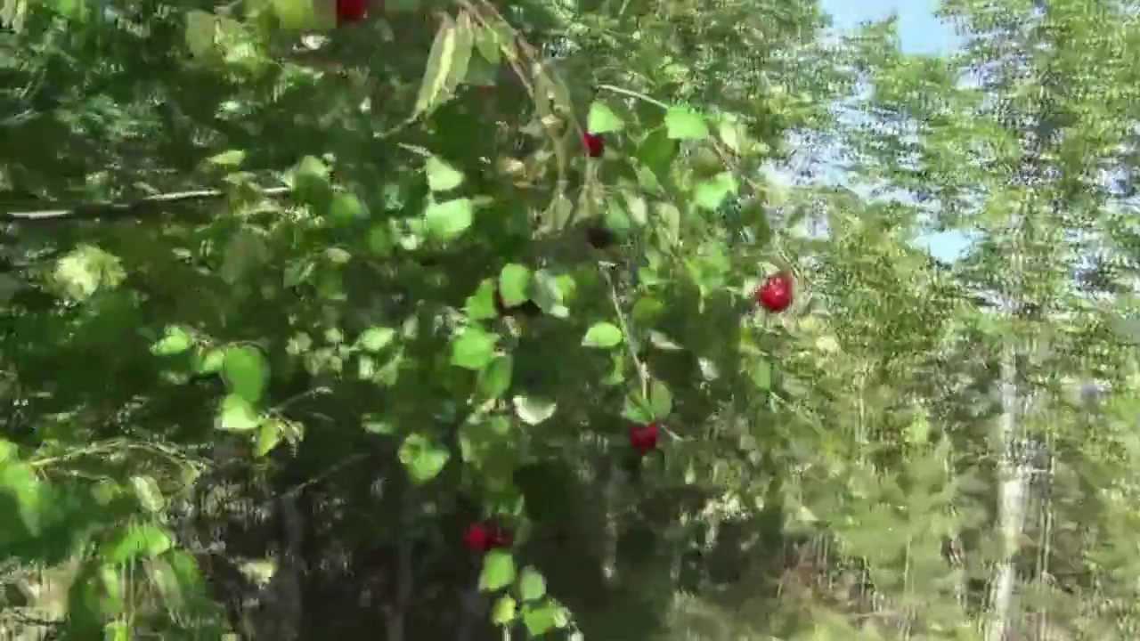 Как растет вишня у нас на Севере. - YouTube