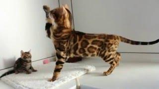 Бенгальский кот и котенок - бенгальская порода