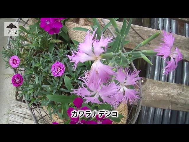 Vol.123 カーネーション咲きのナデシコ