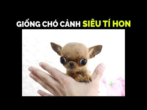 Chó Chihuahua Teacup  – Chú Chó Cảnh Tí Hon Nhỏ Nhất Thế Giới! - Những Điều Cần Biết Khi Chăm Sóc.