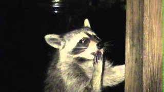 Ricky Raccoon Caught With His Hand In The Honey Jar
