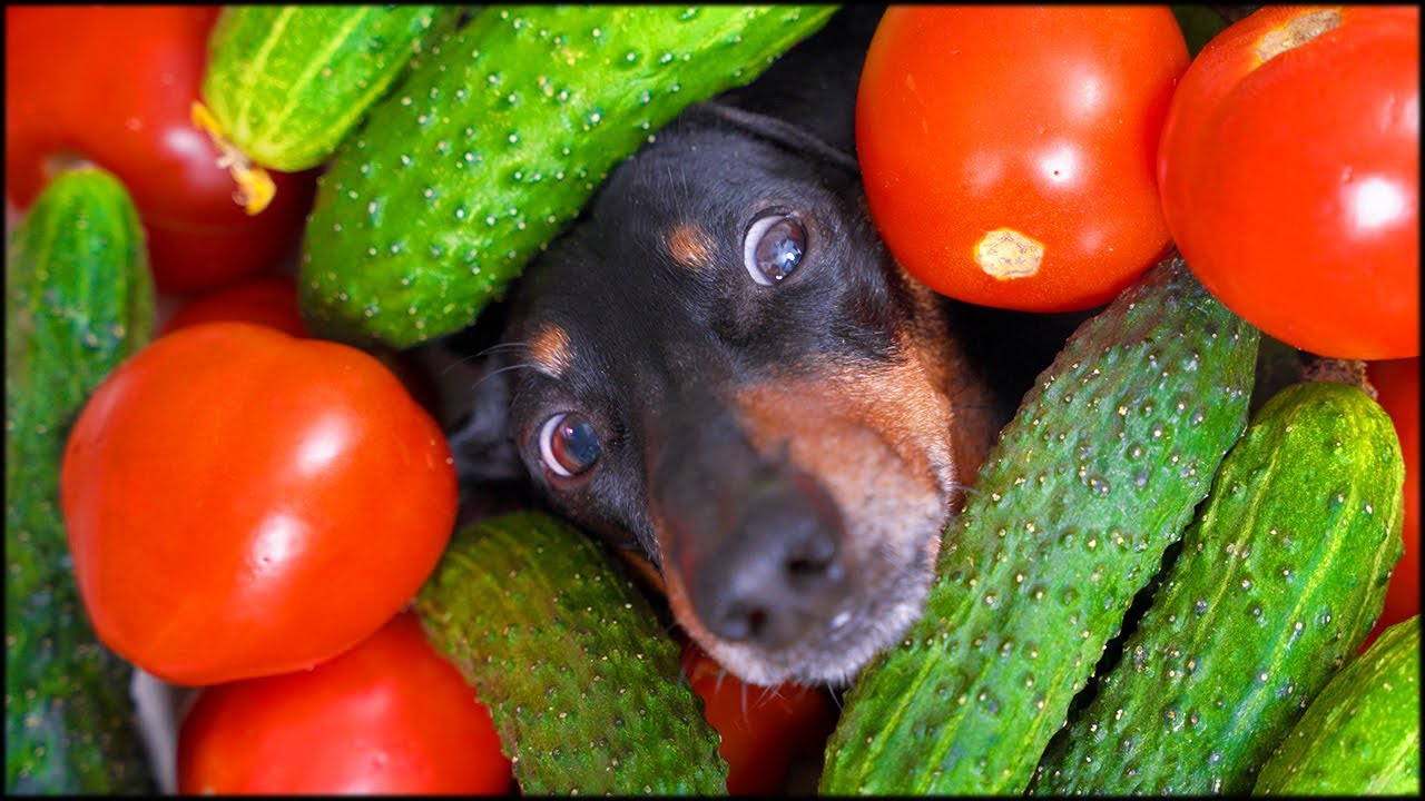 It's canning time! Cute & funny dachshund dog video!