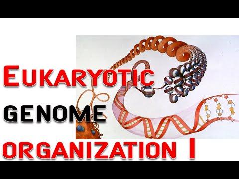 Eukaryotic genome organization 1 | chromosome, nucleosome