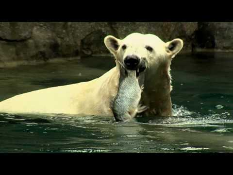 Polar Bear Feeding Frenzy-Cincinnati Zoo