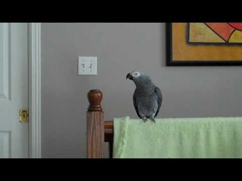 Griffin the parrot talking