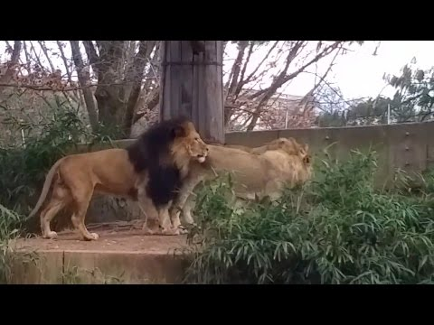 Lions at The National Zoo in Washington DC