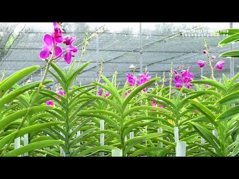Mô hình trồng hoa lan cấy mô công nghệ cao ở Củ Chi, TPHCM   Foci