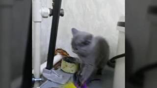 Британский котенок дома)