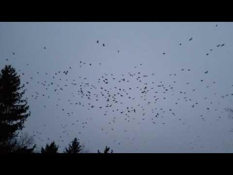 Huge murder of crows!