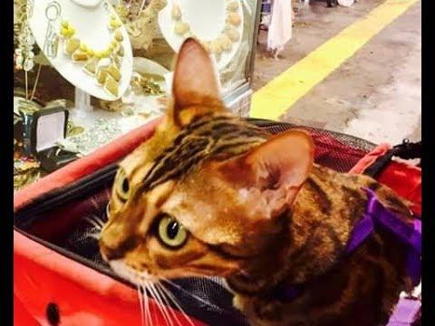 🌎 - 🐈 BENGAL CATS
