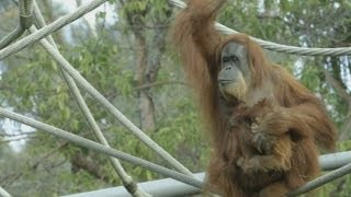 Baby Sumatran orangutan shown the ropes in San Diego zoo