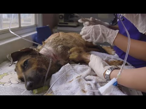 Dog With Nasty Bite Wound on Neck (Graphic) - Dr. Cliff Worldwide Vet Wendy