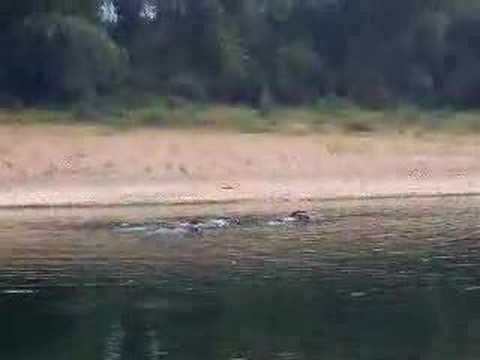 Waterbuffels tijdens Yangshuo riviercruise