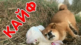Сиба-ину ловит кайф! Собака мажется об вонючий пакет с мусором