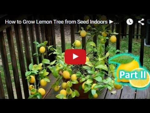 How to grow lemon tree from seed indoors fast part 2 youtube for Can i grow a lemon tree from lemon seeds