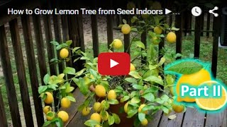 How to Grow Lemon Tree from Seed Indoors FAST Part 2