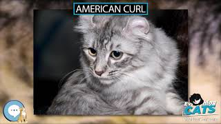 American Curl  EVERYTHING CATS