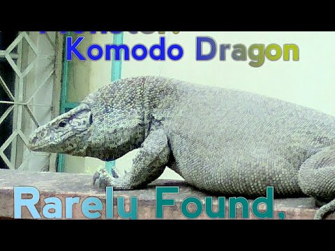 Komodo!The Deadly Encounter With A Monster Dragon.