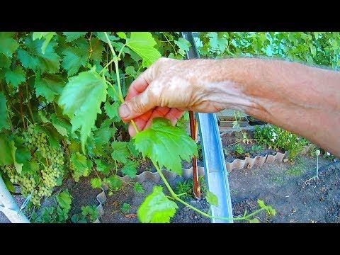 Как работает перекись водорода при обработке винограда от болезней оидиума,милдью и гнили