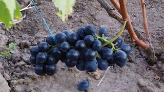 Японский виноград Черная свекла(Опытом выращивания японского сорта винограда Черная свекла на Полтавщине делился Якушенко Василий Евдоки..., 2015-09-13T18:11:38.000Z)