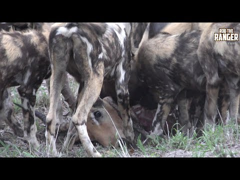 African Wild Dog Pack Eats Whilst Keeping A Leopard Up A Tree