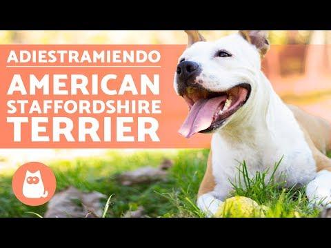Adiestrar a un american staffordshire terrier