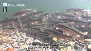 ウグイの産卵[HD]