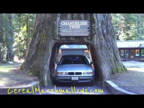 Drive-Thru Tree Chandelier Tree World Famous Redwood Forest California National Park Trees Part #2