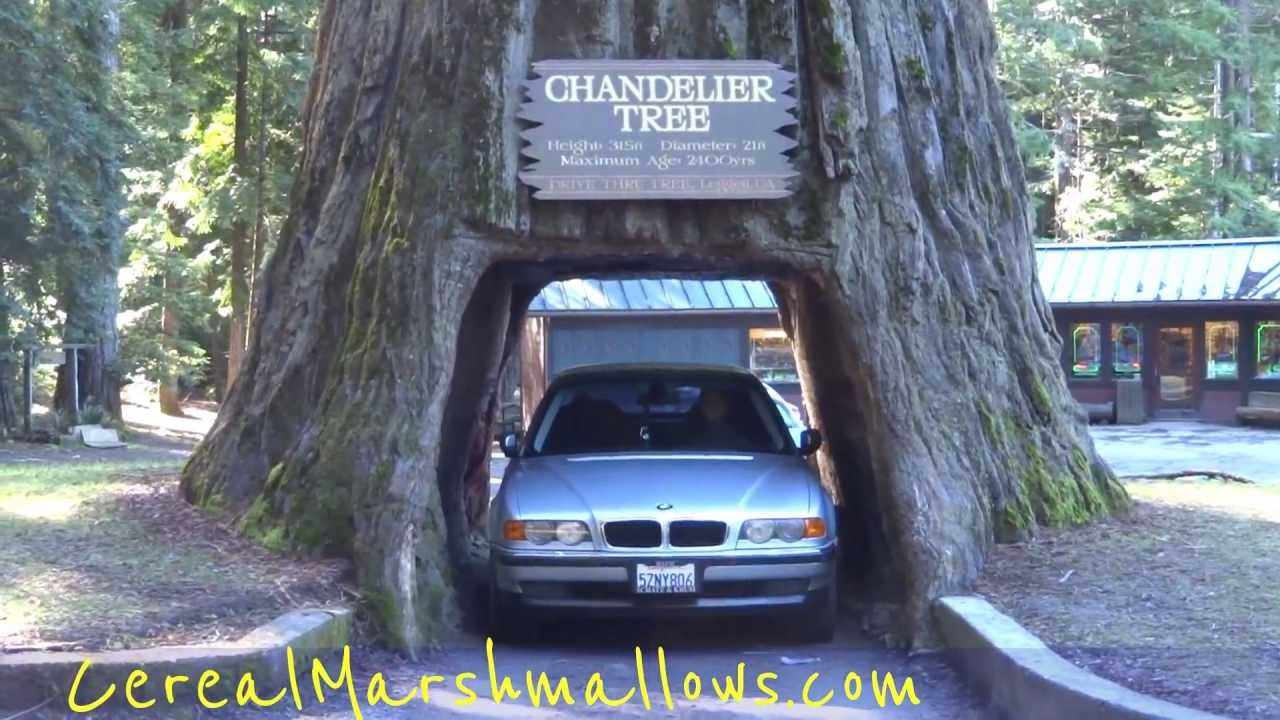 Drive thru tree chandelier tree world famous redwood forest drive thru tree chandelier tree world famous redwood forest california national park trees part 2 youtube arubaitofo Images