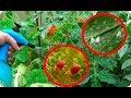 Extracto de hiedra: combatir mosca blanca y araña roja