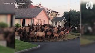Dozens of elk gather in front of home, cross street in residential Gearhart area