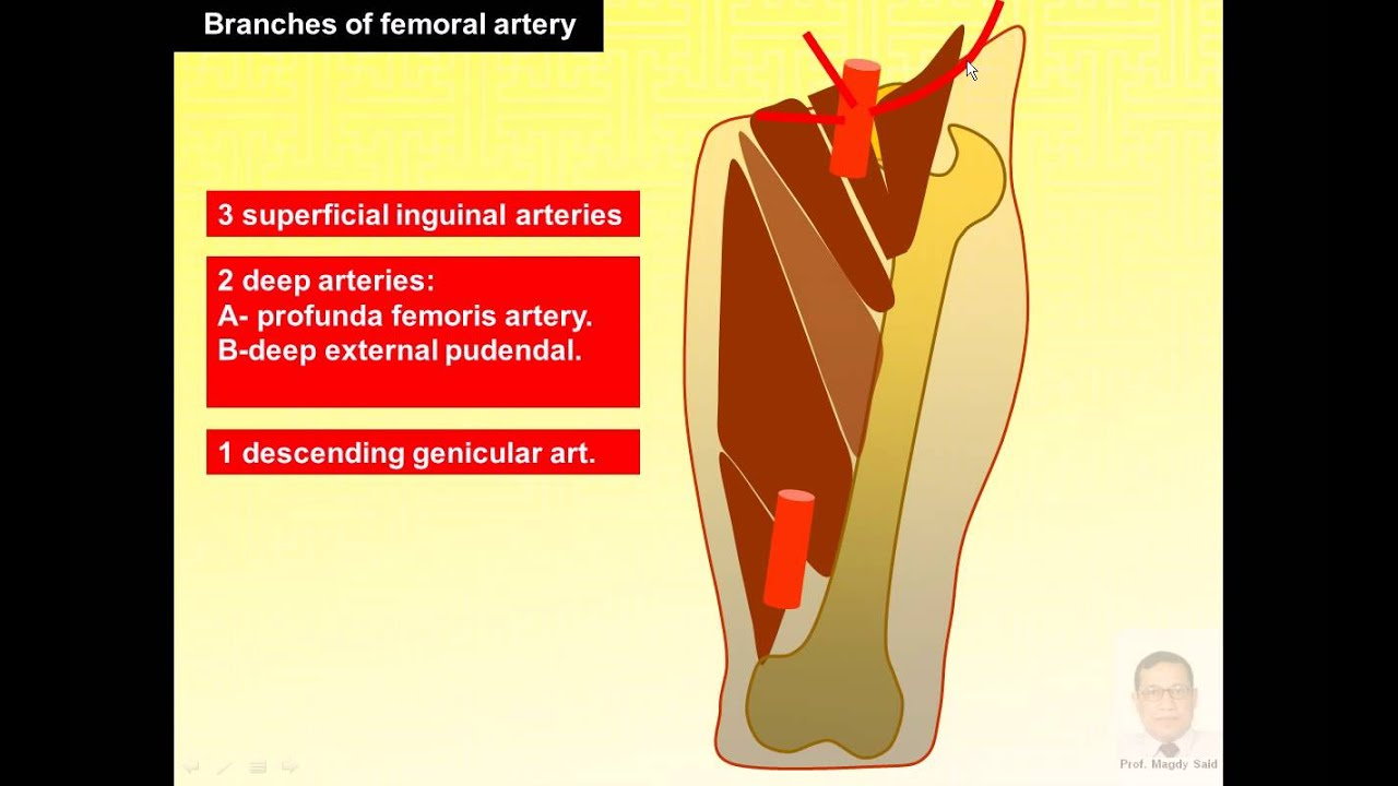Magdy Said Anatomy Serieslower Limbfront Of Thigh Femoral Artery