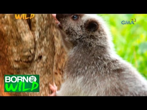 Born to Be Wild: Rescuing a Northern Luzon Cloud Rat
