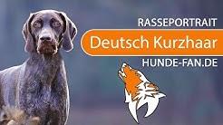 Deutsch Kurzhaar [2018] Rasse, Aussehen & Charakter