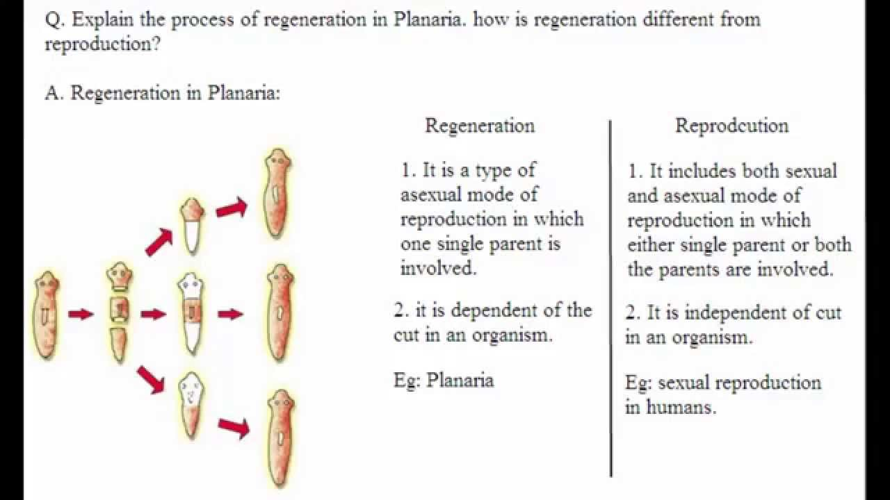 Planaria type asexual reproduction