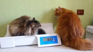 Сравнение веса  мейн-кунов   и сибирской кошечки  /питомник ЛИРИКУМ