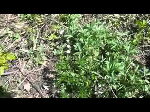Лапчатка белая (корневища и корни) для лечения заболеваний
