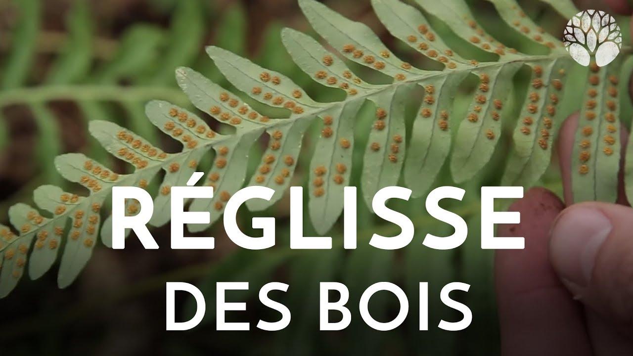 Réglisse des bois, Polypodium vulgare