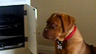 "Dogue De Bordeaux Doesnt Like Bad Dogs On ""the Dog Whisperer"""