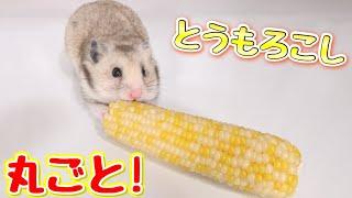 ハムスターがトウモロコシを丸ごと食べる姿が超かわいい!