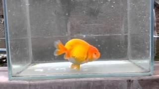 Nevada Goldfish - Indonesia: Red Ranchu