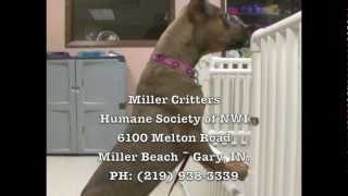 Kayla For Adoption At Humane Society Of Northwest Indiana In Gary, Miller In.