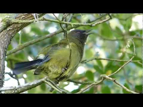 NZ Bellbird Dawn song HD