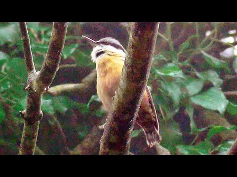 Nuthatch Bird Singing A Beautiful Song at Tehidy Woods