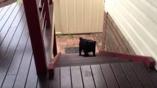 [musical Remix / Remake] Pug Dog Stair Climb Win! [jump Around Style]