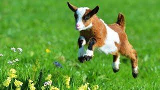 Les animaux de la ferme : La chèvre