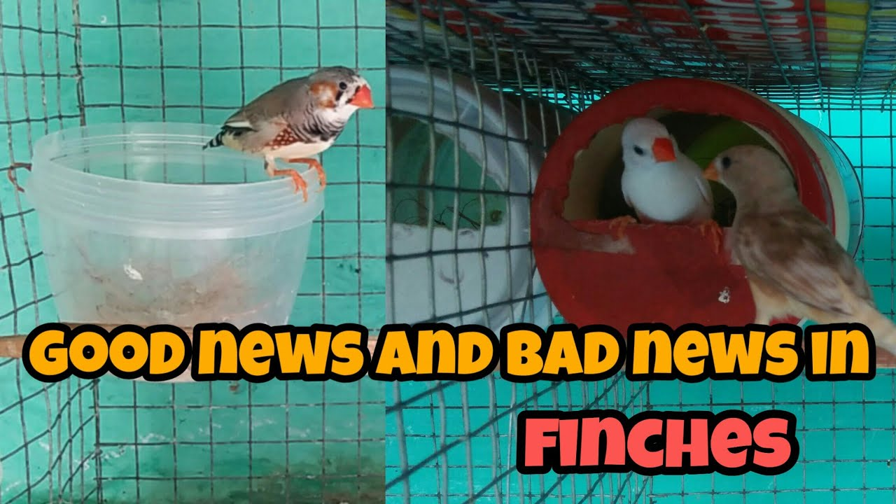 We bought a new male finches in தமிழ்/good news and bad news in finches/finches updates