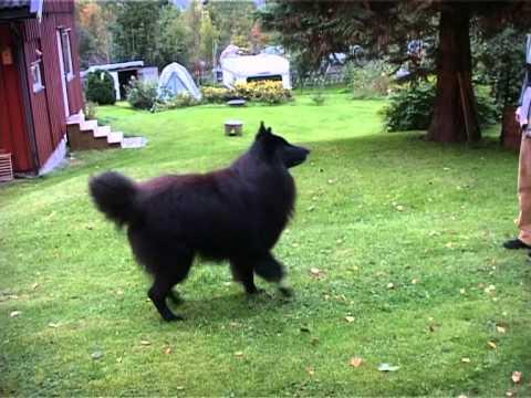 "Timber Belgian Shepherd Dog (Groenendael) ""dancing"""