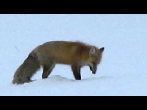 Red Fox Eating Mice on Yellowstone Winter Snowcoach Tour