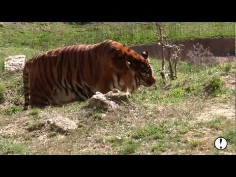 La historia del rescate de 6 tigres de circo